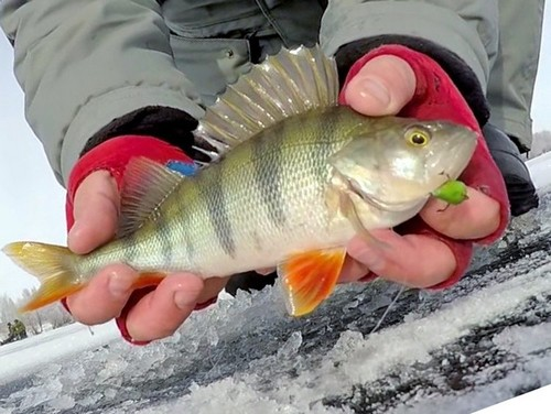 Winter fishing for perch. My first experience