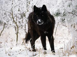 Среднерусский волк