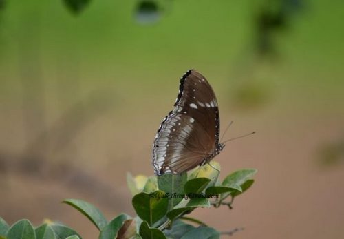 Indian crow butterfly