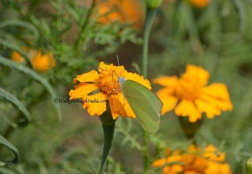 Tagetes_Flower