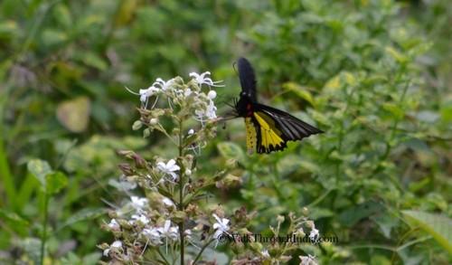 butterfly-Western-Ghats