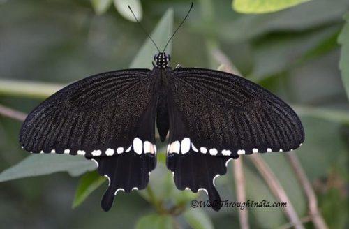 Mormon-butterfly