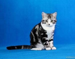 Внешний вид американской кошки