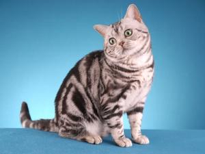 Описание породы кошки