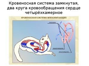 Анатомия и особенности строения скелета кошки