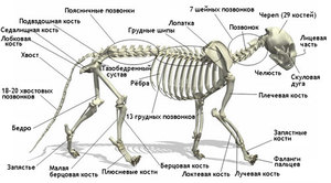 Anatomy and the structural features of the skeleton of a cat, role in the work of the bodies