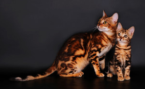 Два бенгальских котика