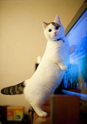 Какие породы кошек с короткими лапами