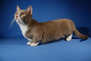Содержание кошек с короткими лапами