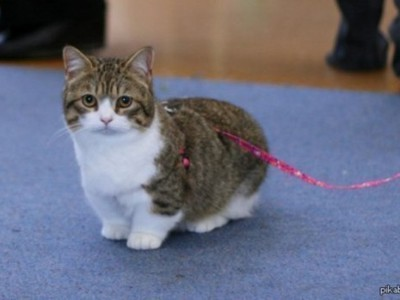 Breed of cats with short legs