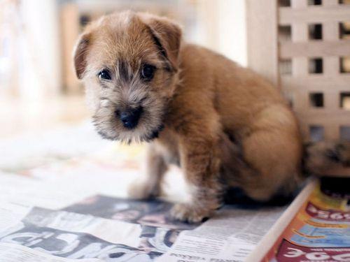 Порода собак норвич терьер