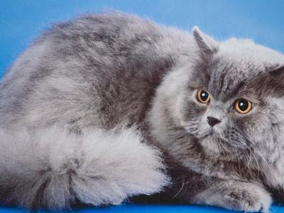 Британская длинношёрстная кошка и котёнок
