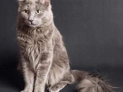 Порода кошек нибелунг и ее характеристики