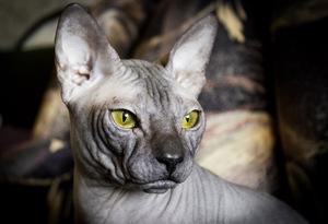 Как выглядит кошка сфинкс