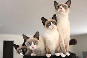 Какой характер у кошек сноу шу