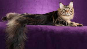 Characteristics of breeds of cats Maine Coon