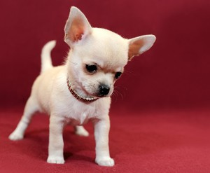 Chihuahua: the maintenance and care of the puppy