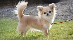 Длиношёрстная собака