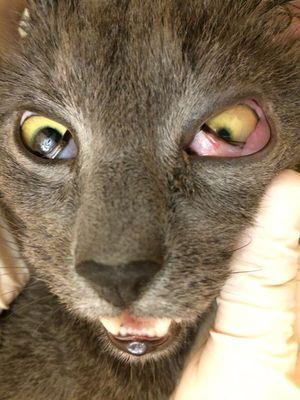 Симптомы заболевания у кошек