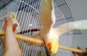 что любят попугаи корелла