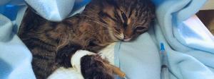 Очень опасная короновирусная инфекция у кошек