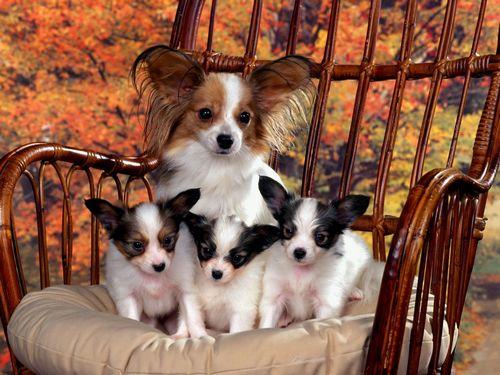 Описание породы собак папильон