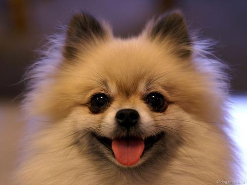 Описание породы собаки немецкий шпиц