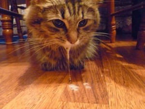 Пена изо рта у кошки -что делать