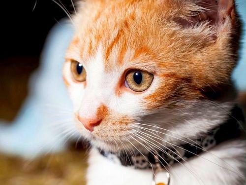 Что такое ошейник от блох для кошек