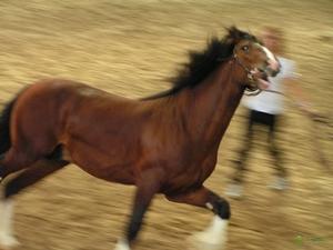 Лошади тяжеловозы