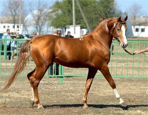 Донская лошадь: описание характера лошади
