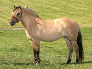 Порода лошадей норвежская фьордская