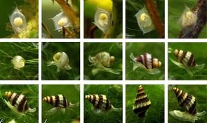 Как размножается улитка в аквариуме