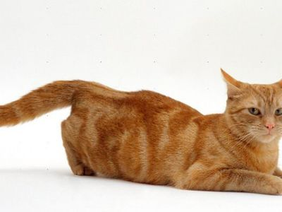 How long is the estrus in cats and how is it determined