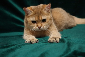 Кошка хочет поточить когти