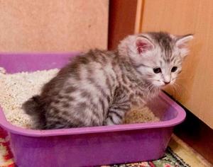 Котенок, приученный к лотку