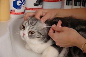 Как чистить уши коту в домашних условиях