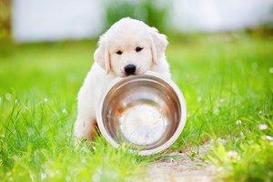 Кормить лабрадора натуральной пищей или сухим кормом