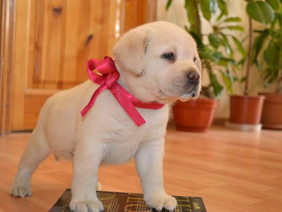 How to feed a Labrador at home?