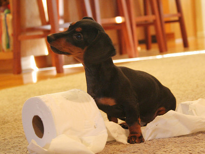 How to teach your puppy to toilet in the apartment and on the street