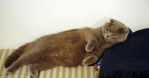 Беременность у вислоухих кошек
