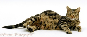 How to understand and determine that a cat is pregnant?