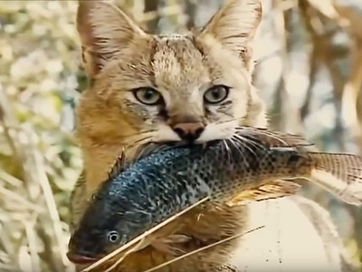 Jungle cat or reed cat? No, swamp lynx!