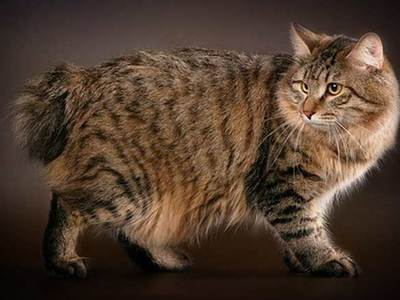 Kurilian Bobtail: cat breed