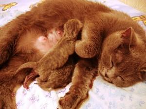 Молочные железы кошки