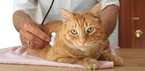 Микоплазмоз у кошек как лечить