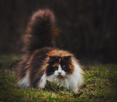 Кто такая норвежская лесная кошка