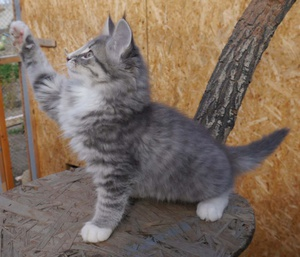 Характеристика норвежской кошки