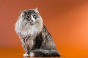 Внешность норвежской кошки