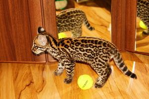 Получится ли из оцелота домашний кот